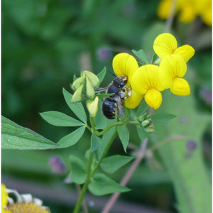 Bee wildflower seed mix: Wool carder bee