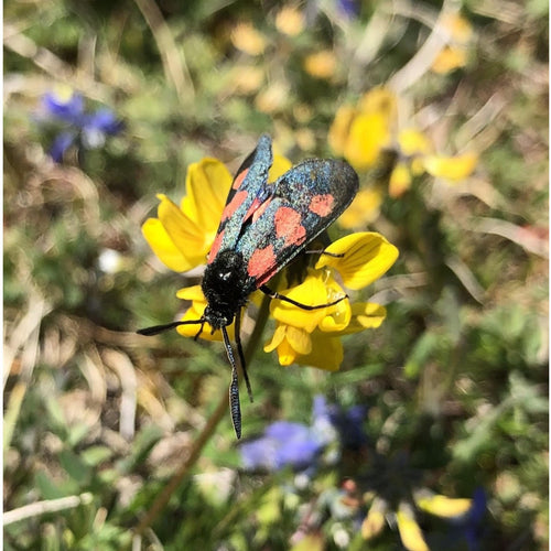 Butterfly and bee seed mix: Birdsfoot trefoil and Six spot burnet