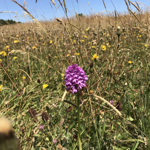 South Coast Meadow Seed Mix