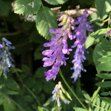 Load image into Gallery viewer, Tufted vetch