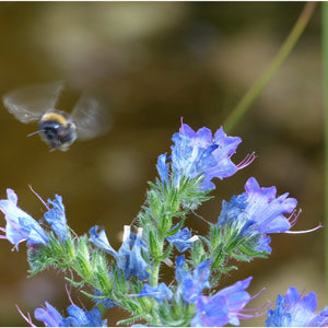 Bee seed mix: Viper's bugloss