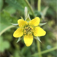 Load image into Gallery viewer, Wood avens Geum urbanum