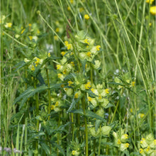 Load image into Gallery viewer, Yellow Rattle: Special meadow mix