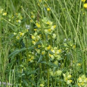 Yellow Rattle: Special meadow mix