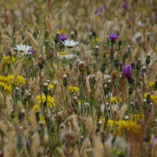 Devon Meadow Seed Mix