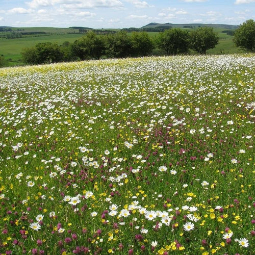 Northumberland Meadow Seed Mix