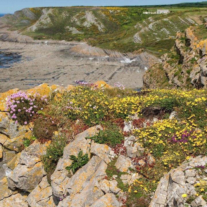 Coastal Meadow Seed Mix
