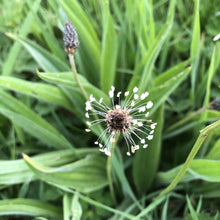 Load image into Gallery viewer, Ribwort plantain: Special meadow mix