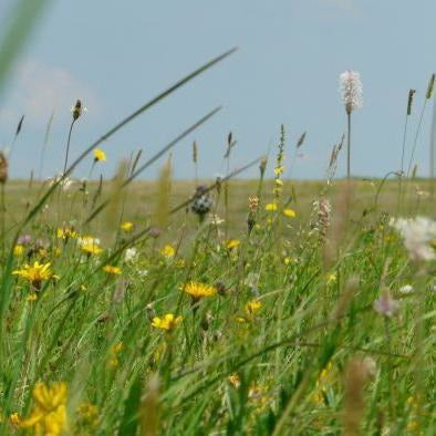 Salisbury Plain Meadow Seed Mix