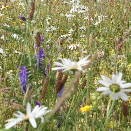 Scottish Lowland Meadow Seed Mix