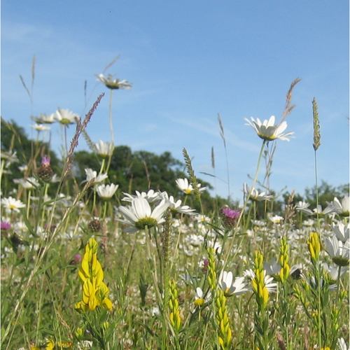 Weald Meadow Seed Mix
