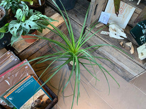 Ponytail Palm 5""