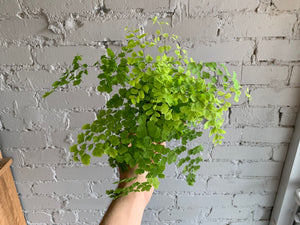 Maidenhair Fern 3.5""