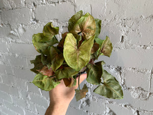 Red Arrowhead Syngonium 3.5""