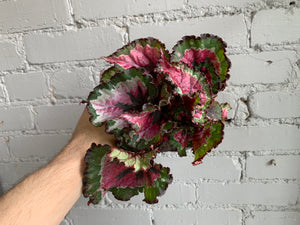 Rex Begonia Assorted 5""