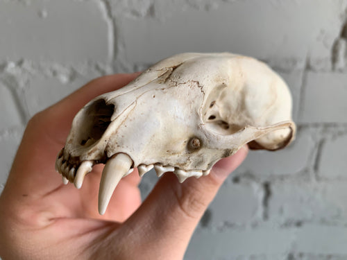 Partial Fisher Skull