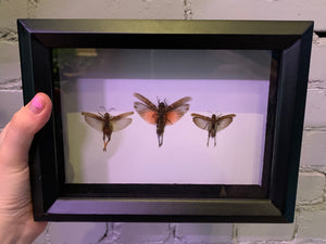 Framed Grasshoppers