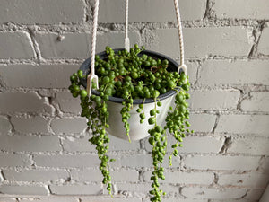 "String of Pearls 6"" Hanging Basket"