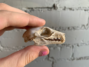 Straw-Coloured Fruit Bat Skull