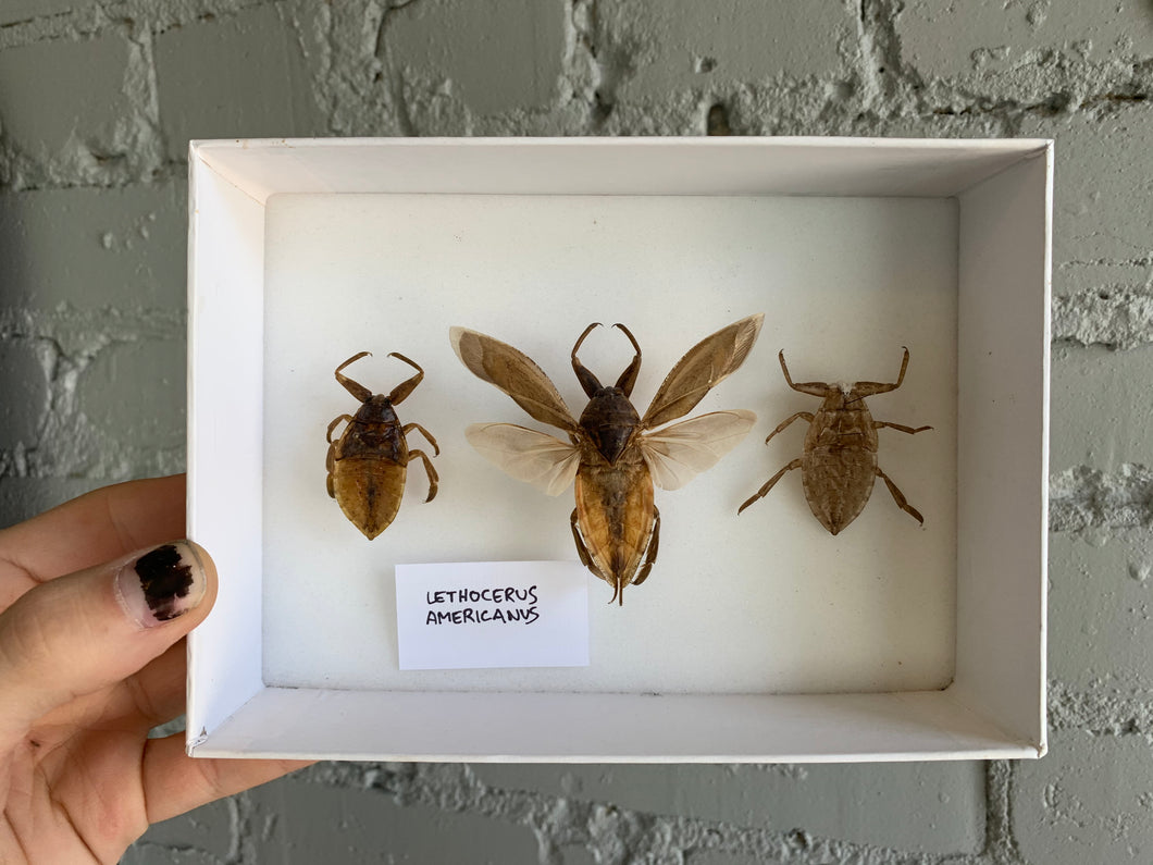 Mounted Giant Water Bugs