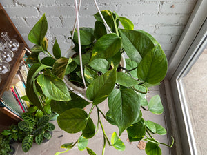 "Golden Pothos 6"" Hanging Basket"