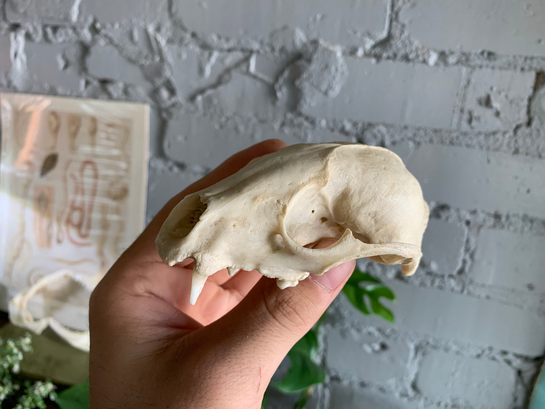 Partial Raccoon Skull