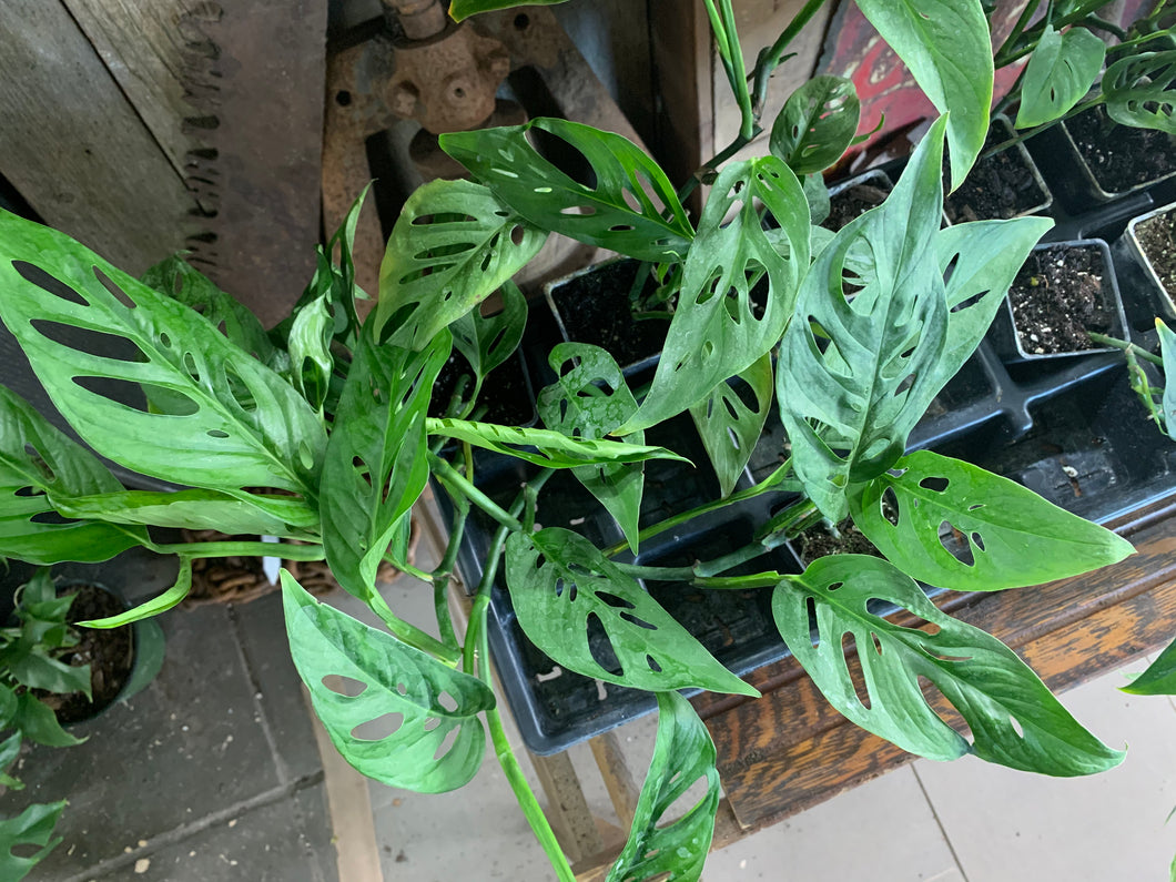 Monstera Adansonii 2