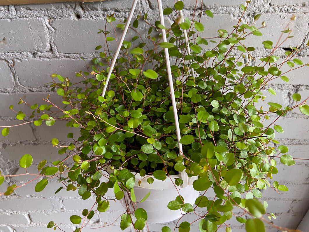 Wire Vine Hanging Basket 6""