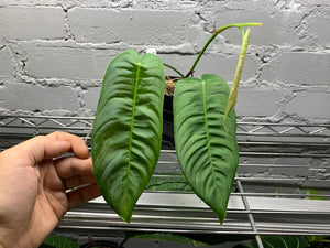 Philodendron Sharoniae 4""