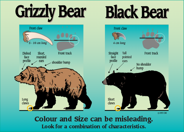 Know the Difference - Black Bear vs Grizzly Bears