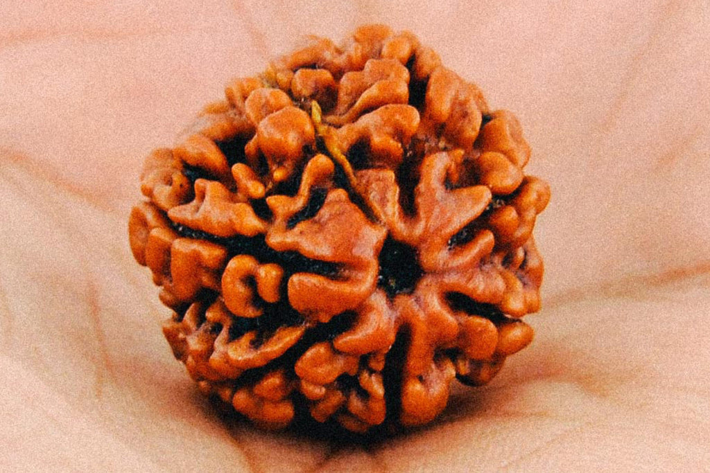 What are Rudraksha Seeds?|Was sind Rudraksha Samen?