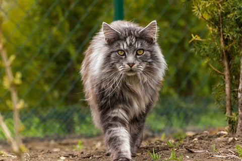 mainecoon chat foret grand