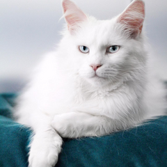Mainecoon-blanche-femelle