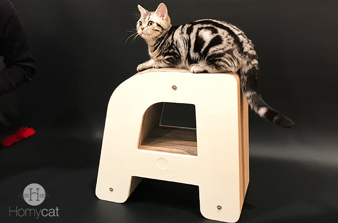 american shorthair chat grand coeur homycat