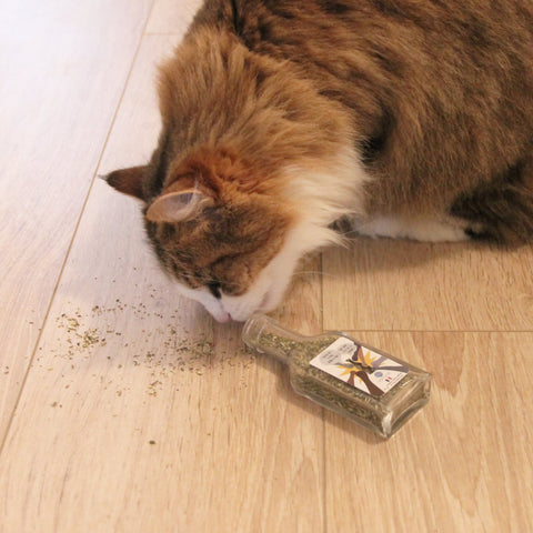 chat cataire herbe a chat homycat