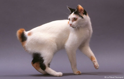race-originale-chat-bobtailjaponais