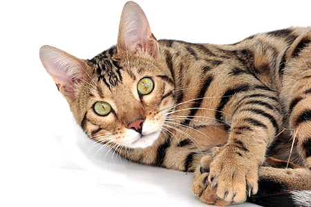 race-originale-chat-toyger