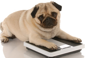 Overweight Pug dog sitting on bathroom scales Wellbeing for Dogs