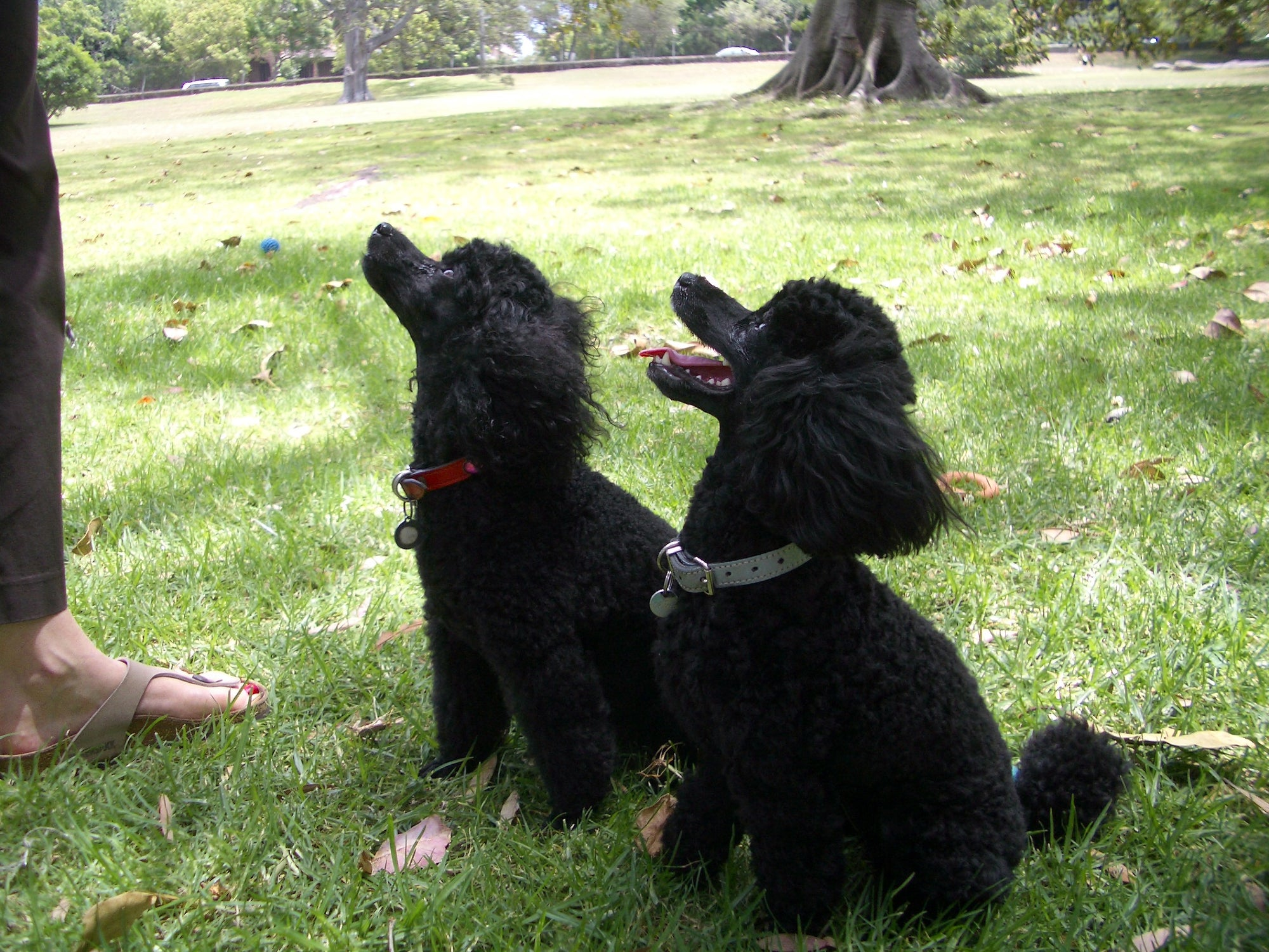 Black toy poodles Moo and Beanie sitting on grass Wellbeing for Dogs