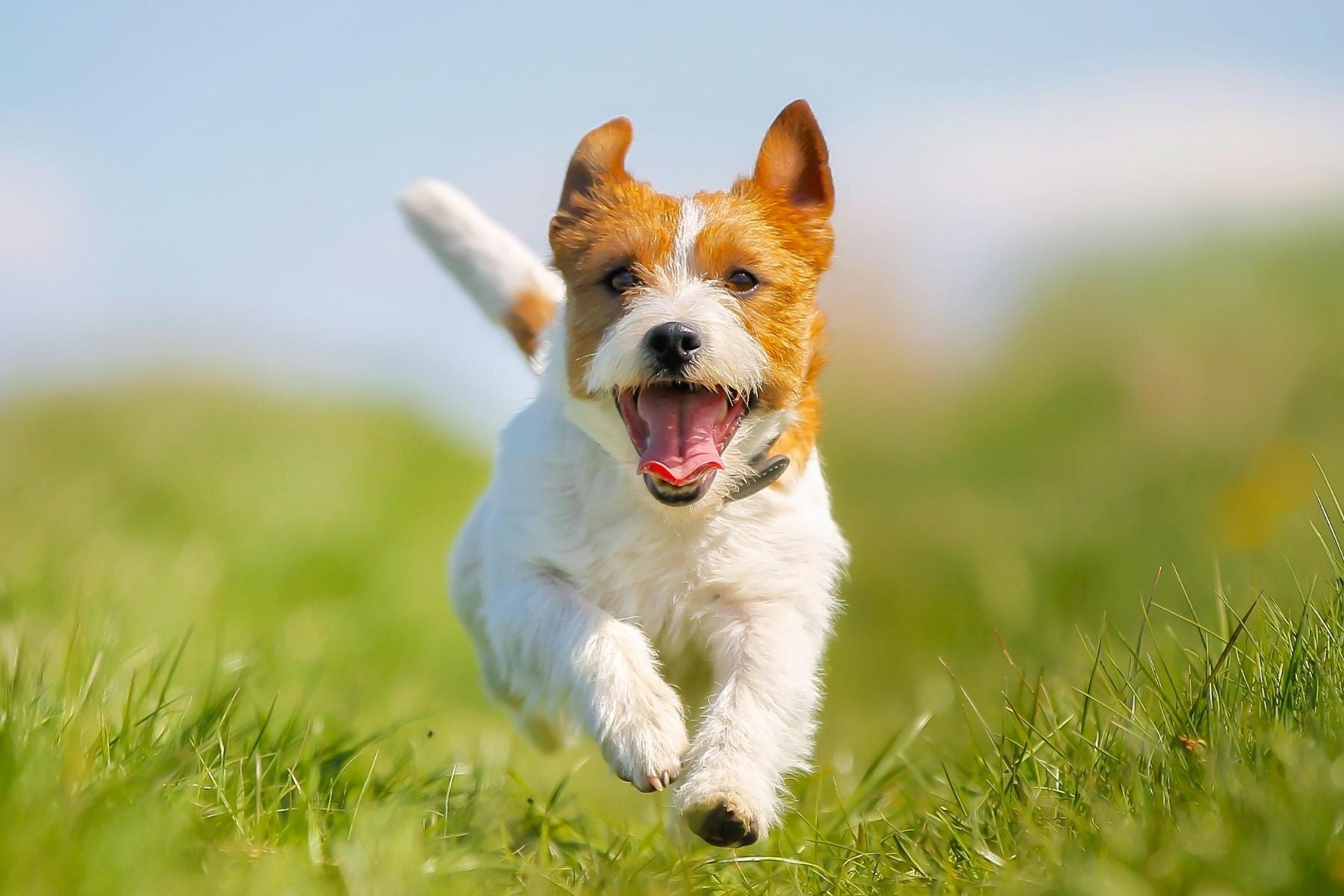 Happy terrier dog running on grass Wellbeing for Dogs