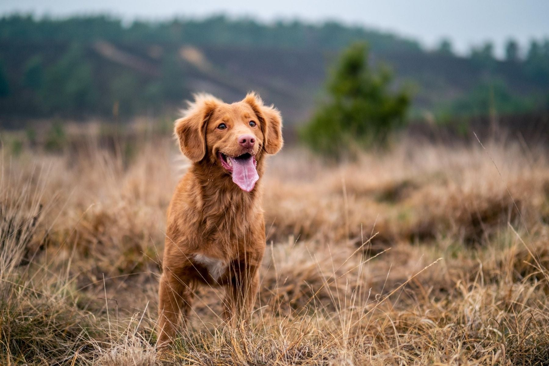 Confident happy red dog in the country Wellbeing for Dogs