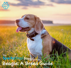 Beagle: A Breed Guide