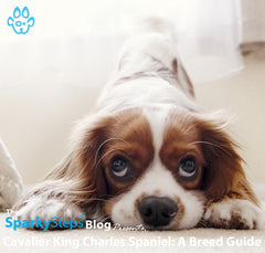 Cavalier King Charles Spaniel: A Breed Guide