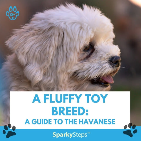 A Fluffy Toy Breed A Guide to the Havanese