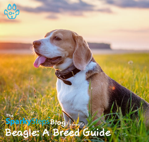 Article - Beagle A Breed Guide - Sparky Steps Chicago Pet Sitters - Article