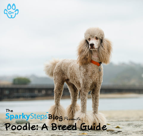 Article - Poodle A Breed Guide - Sparky Steps Chicago Pet Sitters - Article