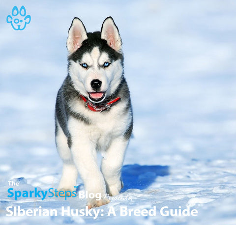 Article - Siberian Husky - Sparky Steps Chicago Pet Sitters