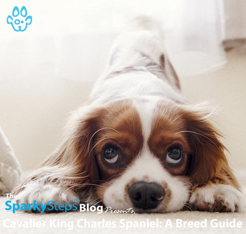 Article - Sparky Steps Chicago Pet Sitters - Cavalier King Charles Spaniel