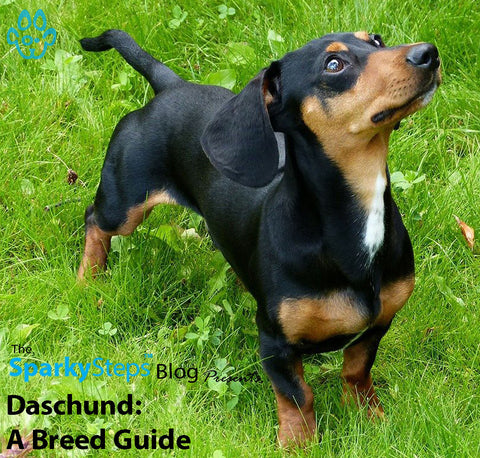 Article - Sparky Steps Chicago Pet Sitters - Daschund A Breed Guide