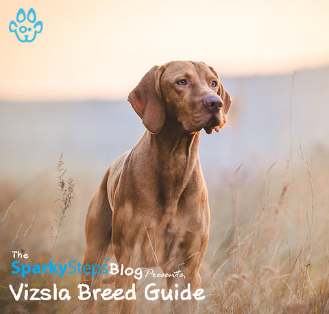 Article - Sparky Steps Chicago Pet Sitters - Getting to Know the Vizsla - A Breed Guide